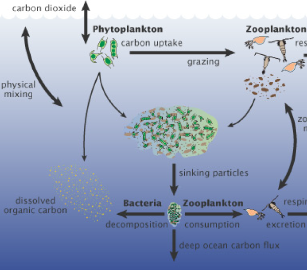 Phytoplankton diagram