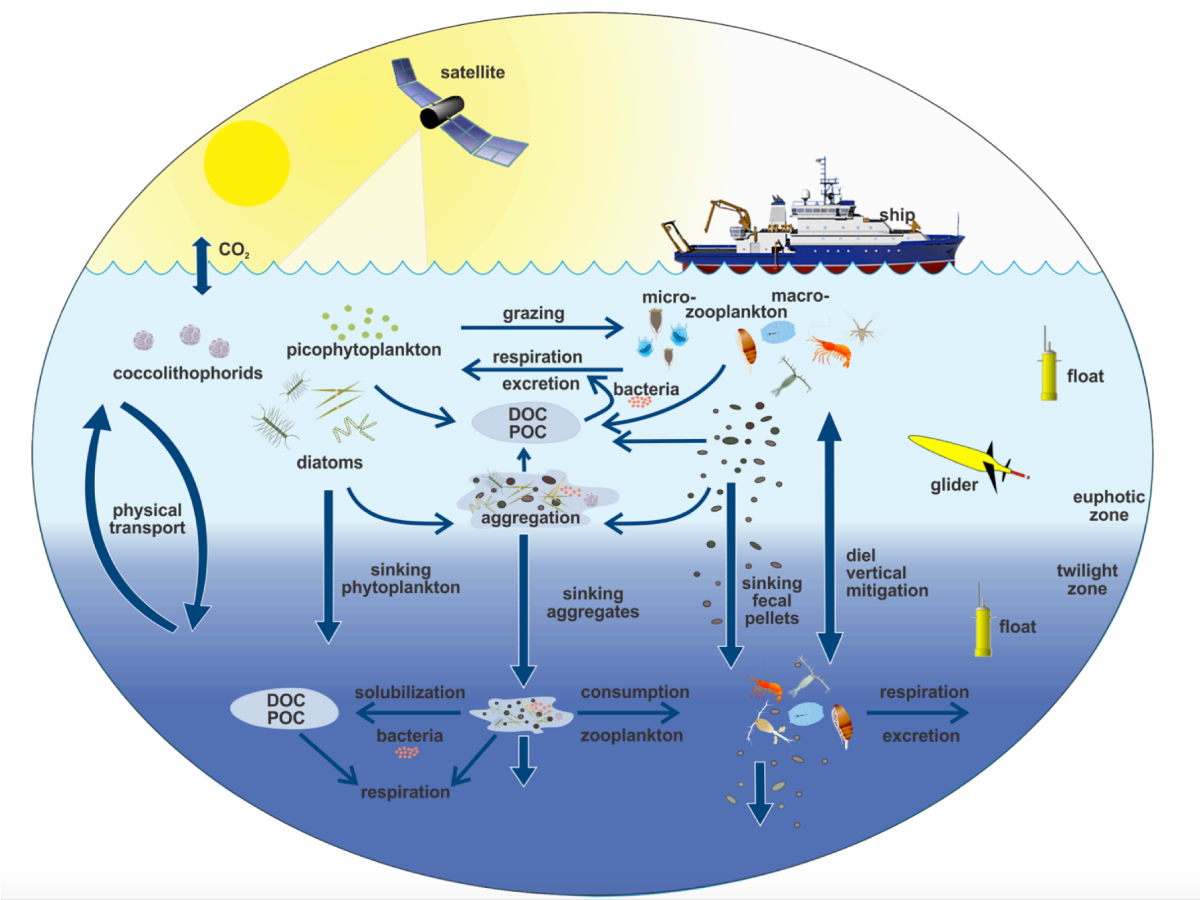 This illustration links the ocean biological pump and pelagic food web