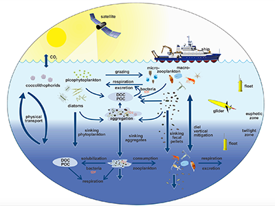 This illustration links the ocean biological pump and pelagic food web. Campaigns such as EXPORTS will utilize ships, satellites and autonomous vehicles to sample many parts of this system. Credit: Adapted from Steinberg (in press) and the U.S. Joint Global Ocean Flux Study