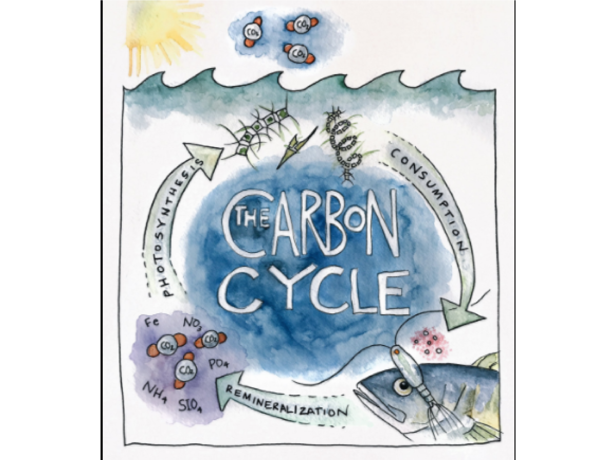 A carbon cycle diagram drawn by Artist at Sea Kirsten Carlson